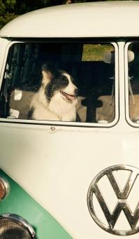 Söt hund i folkabuss